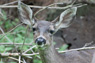 Black-tail Deer Thumbnail