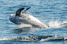 Risso's Dolphins Thumbnail