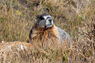 Yellow-bellied Marmot Thumbnail