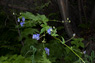 Western Monkshood Thumbnail
