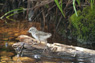 Spotted Sandpiper Chick Thumbnail