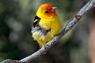 Western Tanager Thumbnail