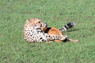 Cheetah Kill Thumbnail
