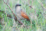 White-browed Coucal Thumbnail
