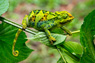 Three-horned Chameleon Thumbnail