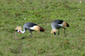 Gray-crowned Cranes Thumbnail